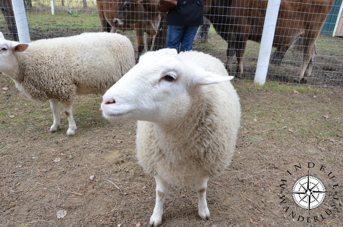 Look at these beautiful sheep at Snooters