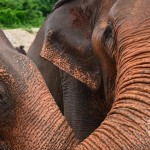 Elephant Nature Park (Learning About The Asian Elephant)