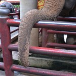 The Truth About Elephant Tourism
