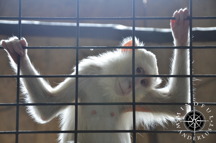 One of the many albino macaques at Pata Zoo